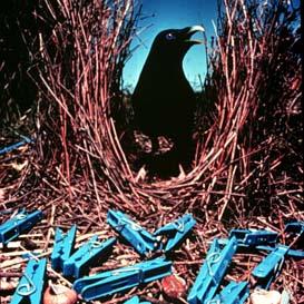 satin-bowerbird